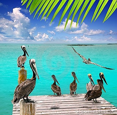 Free Caribbean Pelican Turquoise Beach Tropical Sea Stock Photos - 19162233