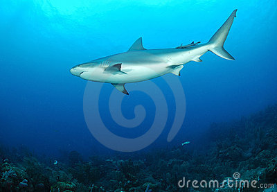 Caribbean Reef Shark Stock Photo - Image: 22722490