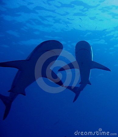 Free Caribbean Reef Sharks Royalty Free Stock Photos - 149688