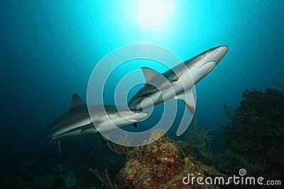 Caribbean Reef Sharks - Roatan