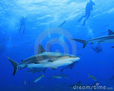 Caribbean Reef Sharks and Scuba Divers