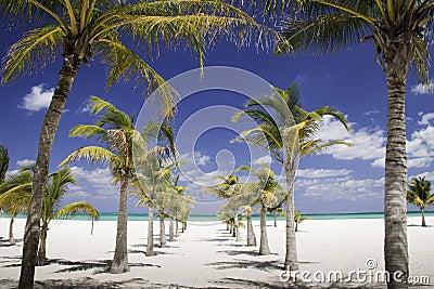 Caribbean Shade - Row of Palm Trees Leading to Sea