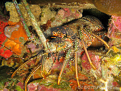 Caribbean Spiny Lobster Panulirus argus in den