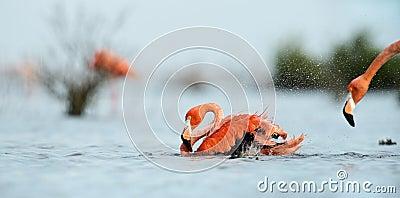Caribean Flamingo bathing