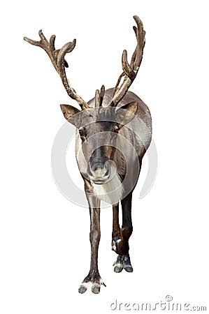 Caribou over white