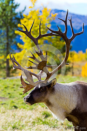 Free Caribou (Reindeer) In The Yukon Territories, Canada Stock Images - 60852954