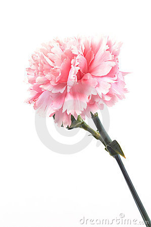 Free Carnation Royalty Free Stock Photos - 756808