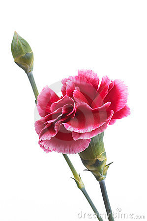 Free Carnation Stock Photo - 757050
