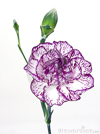 Free Carnation Stock Photography - 80132