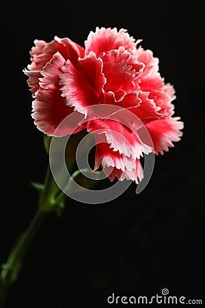 Free Carnation Flower Royalty Free Stock Photo - 36068015