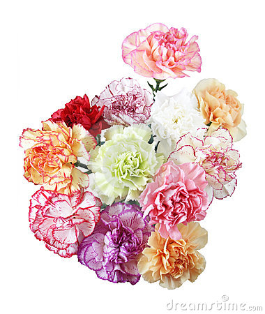 Free Carnation Flowers Royalty Free Stock Images - 4909029