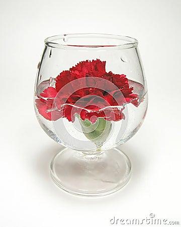 Carnation underwater