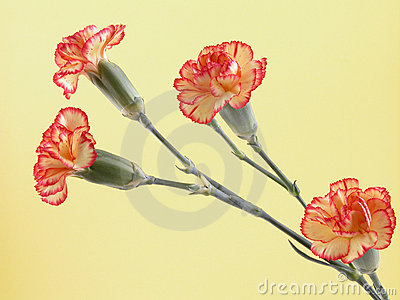Carnations