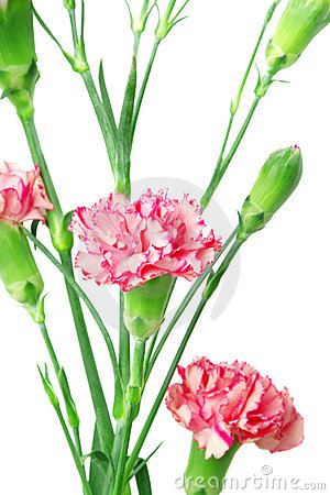 Free Carnations Stock Images - 6725044