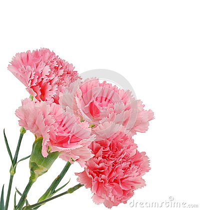 Free Carnations Flowers Stock Photography - 26448882
