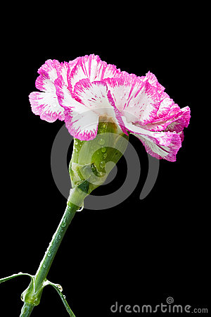 Carnatoin flower on black background.