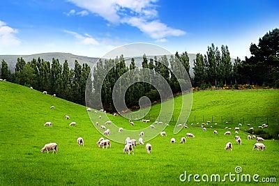 Carneiros no prado