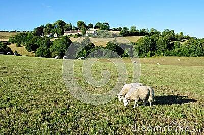Carneiros que pastam em um campo verde