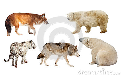 Carnivora mammal. Isolated over white