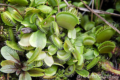 Carnivore plant: the Venus fly trap