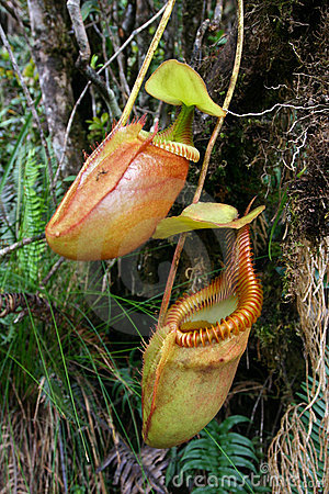 Free Carnivorous Plant Royalty Free Stock Images - 10819029