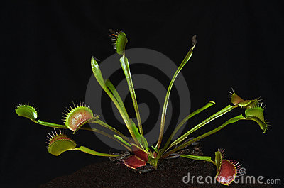 Carnivorous plant with insect entrapped