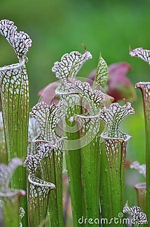 Free Carnivorous Plants Royalty Free Stock Photos - 31187238