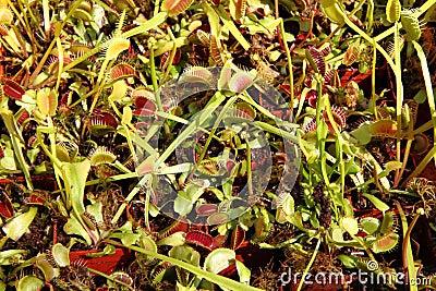 Carnivorous plants background