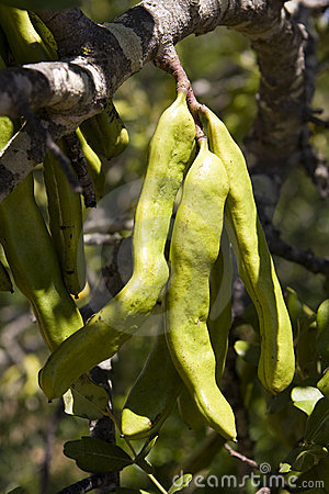 Free Carob Pods Royalty Free Stock Photos - 20164148