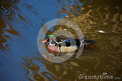 Carolina wood duck, South Africa