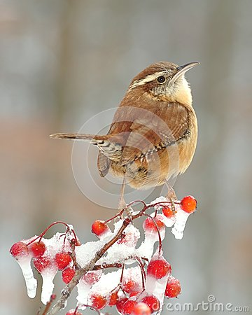 Free Carolina Wren And Icy Hawthorn Berries Stock Image - 26092711