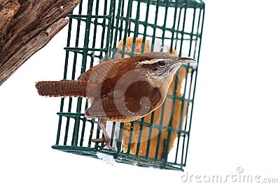 Carolina Wren On A Feeder