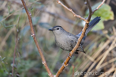 Carolinensis catbird dumetella szarość