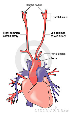 Carotid and aortic bodies