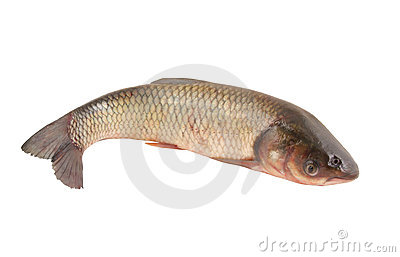 Carp family fish isolated