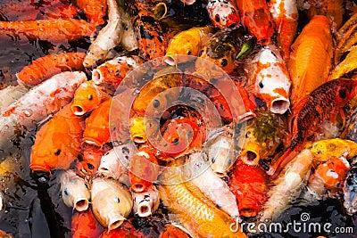 Carp Fish Feeding