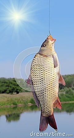 Free Carp On A Fishing Hook Royalty Free Stock Image - 26465116