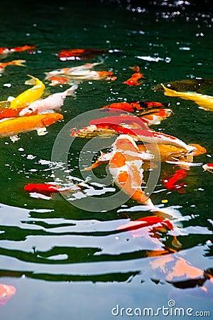 Carpa giapponese di koi in uno stagno tropicale fotografie for Carpa koi prezzo