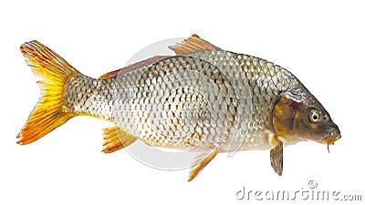 Carpa peixe do rio foto de stock imagem 61425691 for Carpa de rio
