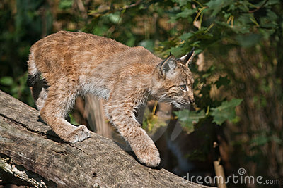 Carpathian Lynx cub