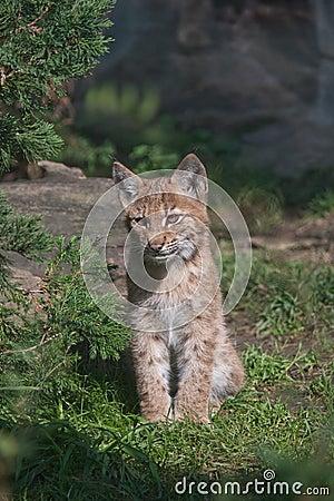 Carpathian Lynx juvenile
