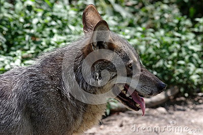 Carpathian Wolf