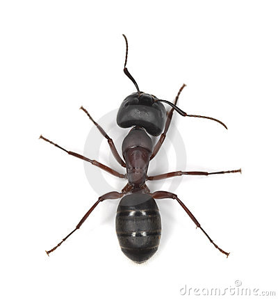 Free Carpenter Ant Isolated On White Royalty Free Stock Photo - 16765755