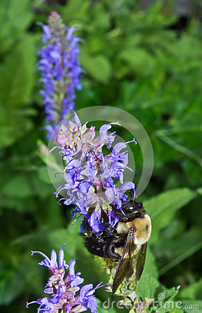 Carpenter Bee and Blue Flowers