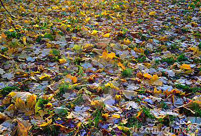 A carpet of autumnal  leaves covered with frost
