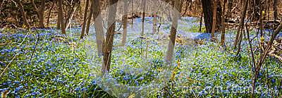 Carpet of blue flowers in spring forest
