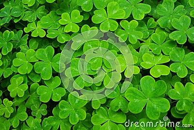 Carpet of clover