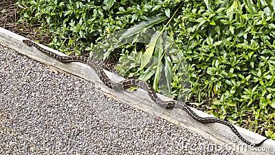 Carpet Python (Morelia spilota) snake