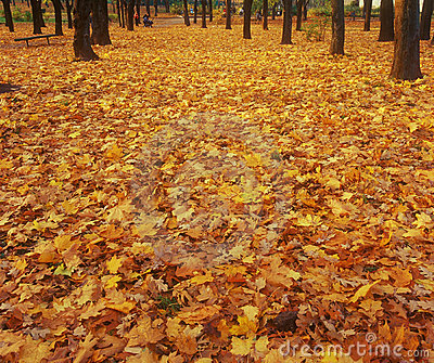 Carpet of yellow autumn leaves.