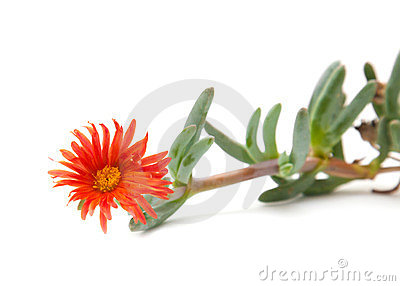Carpobrotus, sea fig or ice plant